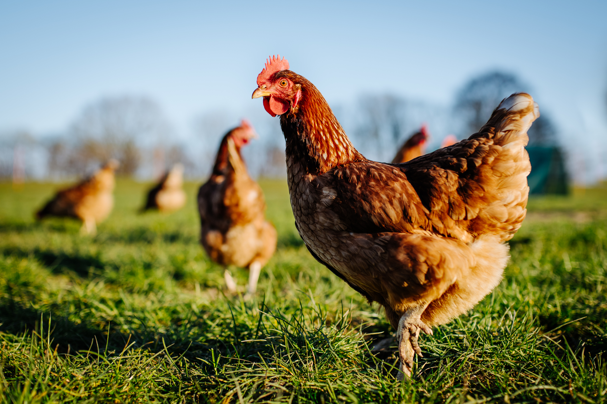 several chickens in grass field