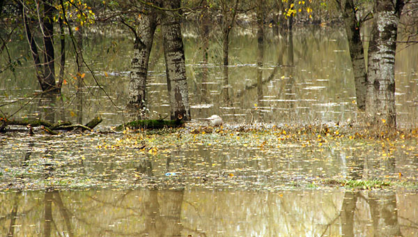 Woodland flooded by water