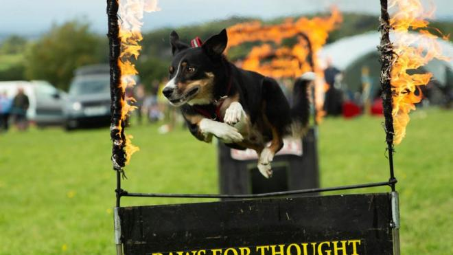 A dog jumping through a fire hoop