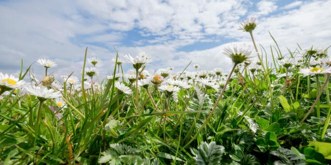 picture of daisy flowers in a field